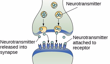 Nerve Cells with  Receptors